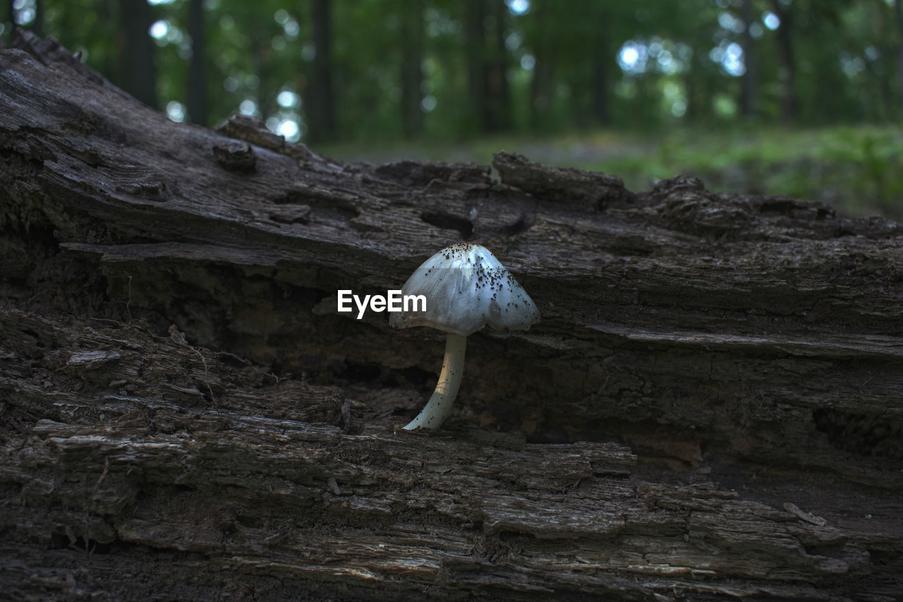 tree, vegetable, plant, fungus, mushroom, land, forest, no people, growth, nature, toadstool, tree trunk, trunk, food, focus on foreground, close-up, day, outdoors, edible mushroom, beauty in nature