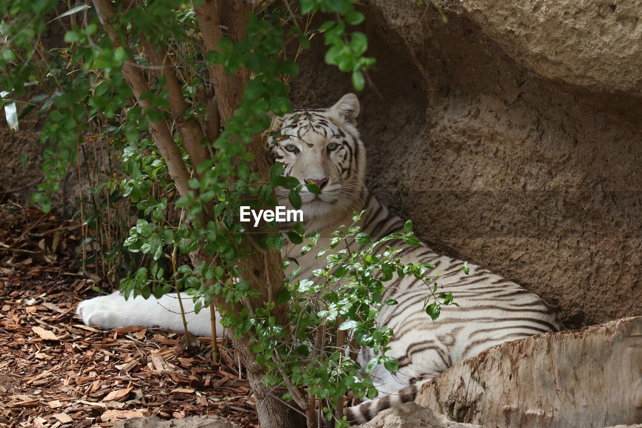 Portrait Of White Tiger Sitting In Forest