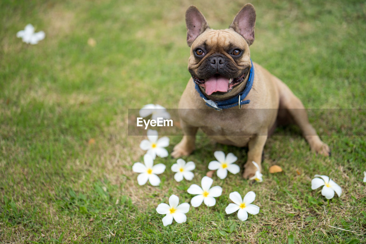 canine, one animal, dog, plant, pets, mammal, domestic, domestic animals, flower, flowering plant, animal, grass, animal themes, small, nature, portrait, french bulldog, field, day, looking at camera, no people