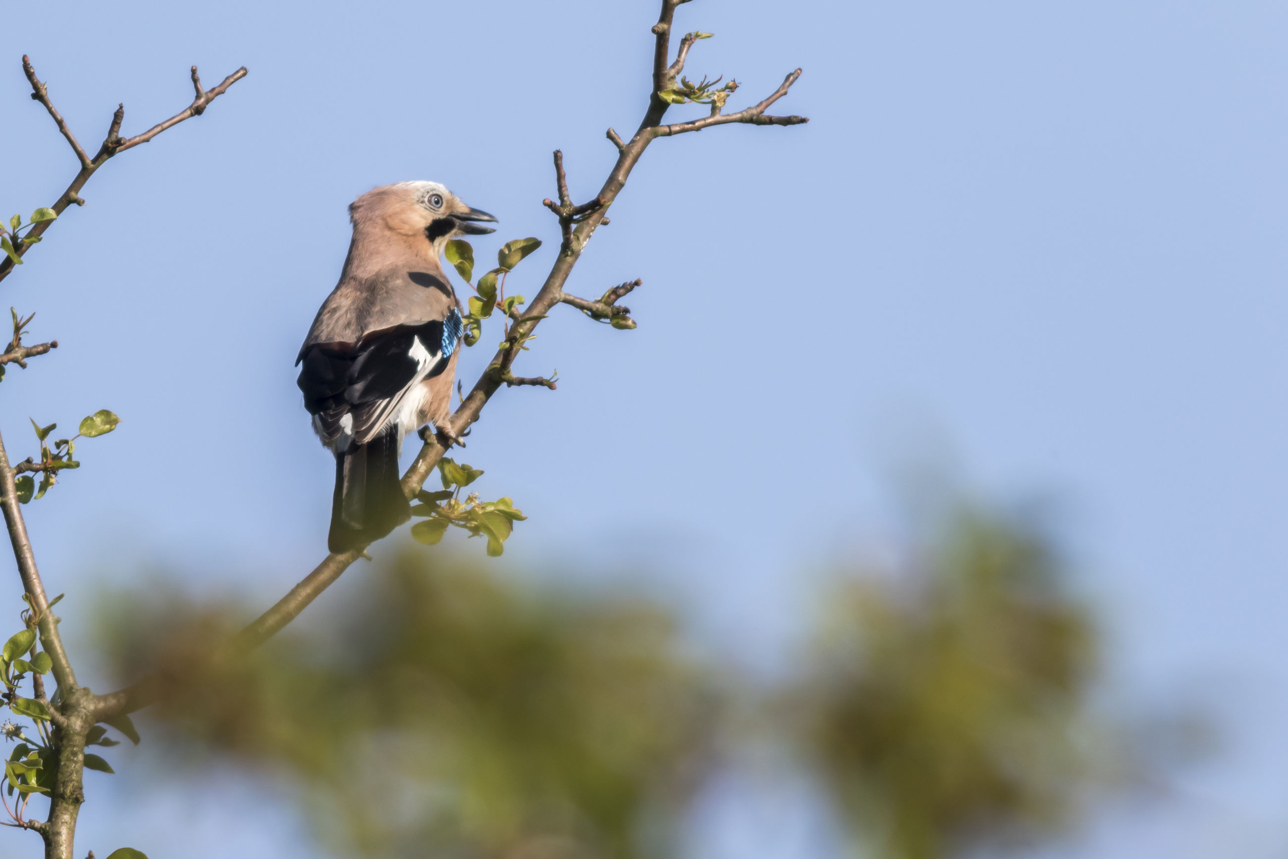LOW ANGLE VIEW OF BIRD PERCHING ON BRANCH AGAINST CLEAR SKY