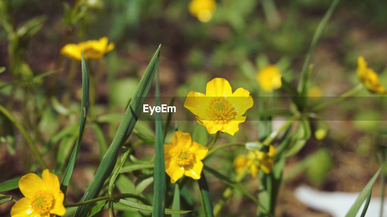 flower, flowering plant, yellow, plant, freshness, vulnerability, fragility, beauty in nature, growth, petal, close-up, inflorescence, flower head, focus on foreground, nature, no people, field, day, plant stem, selective focus, outdoors