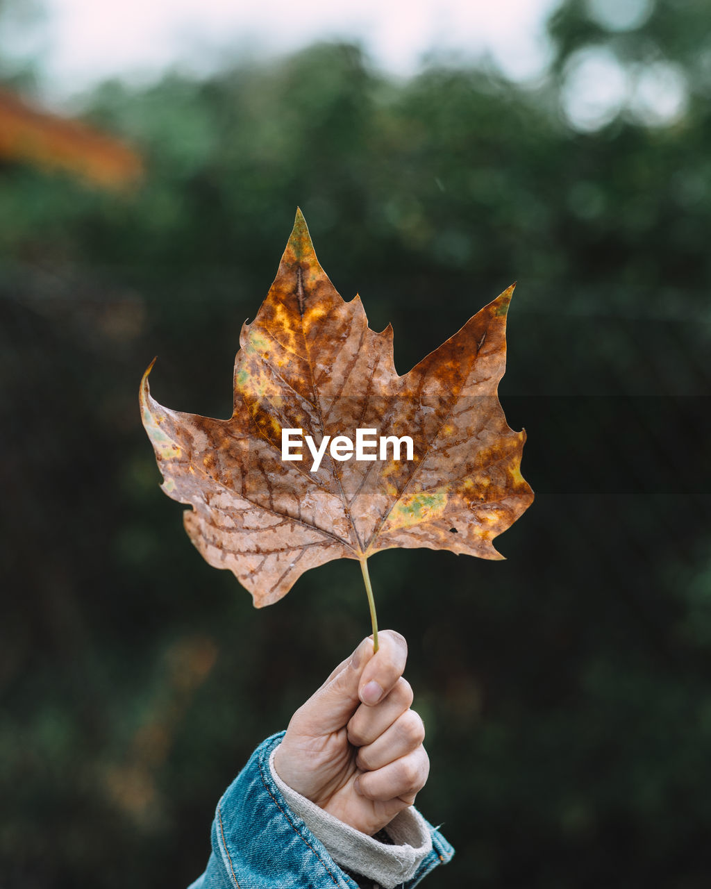 Close-Up Of Person Holding Maple Leaf During Autumn