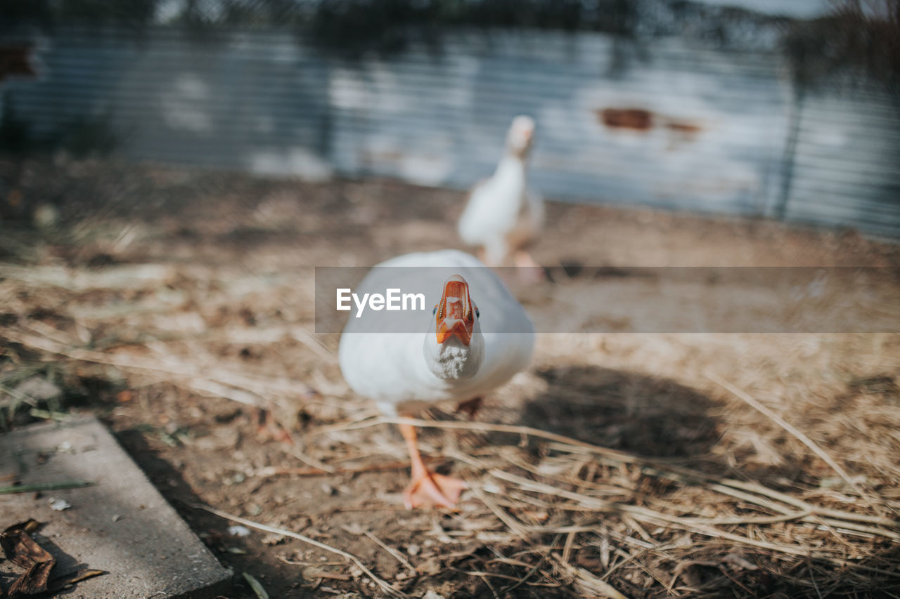 bird, animal themes, animal, vertebrate, one animal, animal wildlife, animals in the wild, land, water, nature, day, no people, focus on foreground, field, outdoors, lake, pets