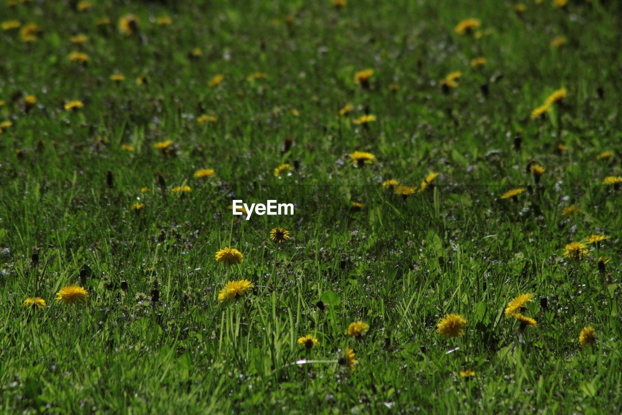 YELLOW DANDELIONS GROWING IN FIELD