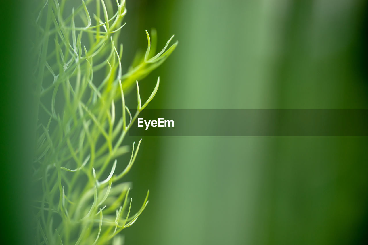green color, plant, growth, beauty in nature, selective focus, nature, close-up, day, no people, tranquility, plant part, focus on foreground, outdoors, leaf, freshness, vulnerability, fragility, agriculture, field, cereal plant, blade of grass, bamboo - plant