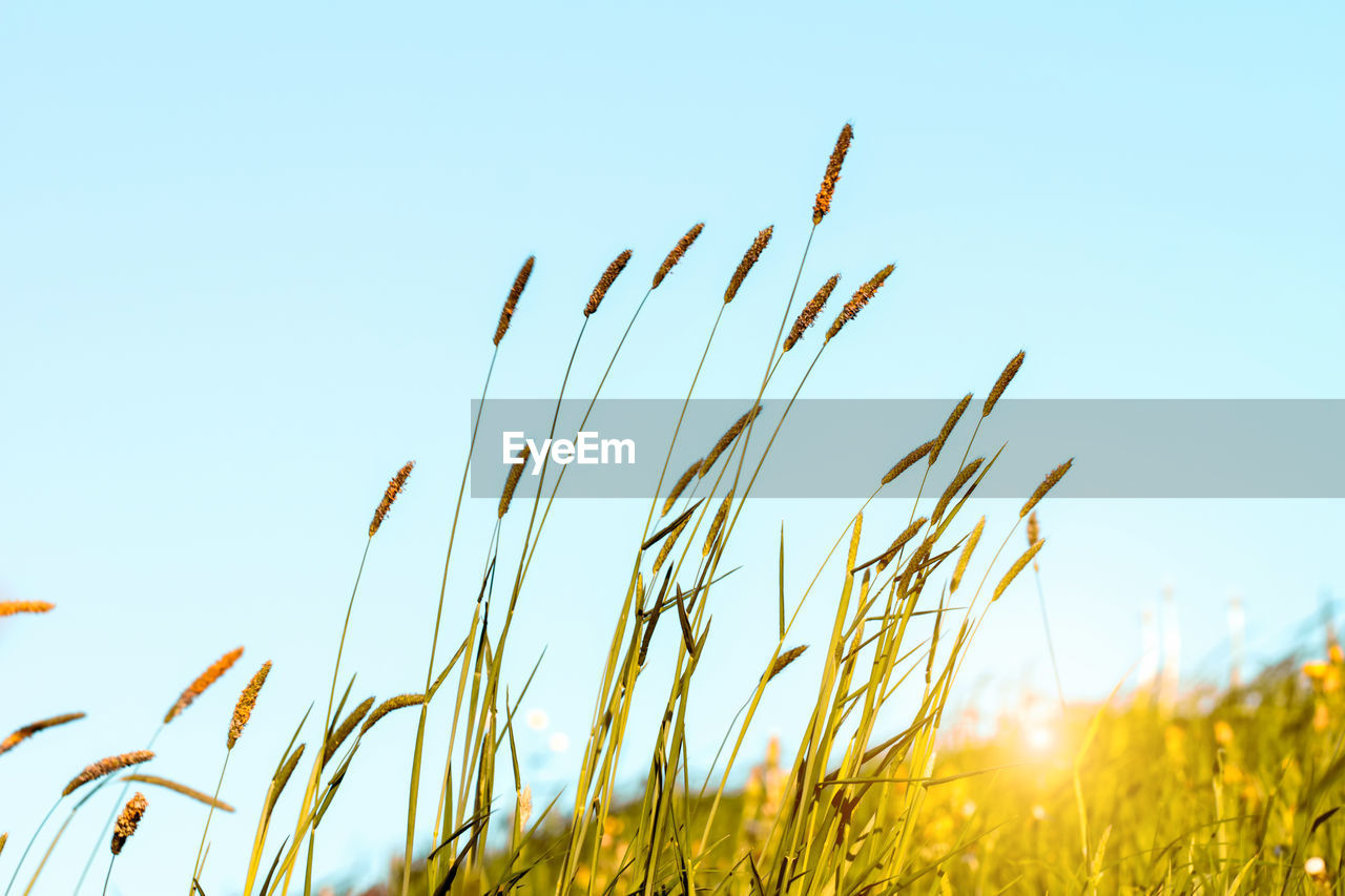 sky, plant, growth, nature, field, tranquility, clear sky, close-up, beauty in nature, day, land, grass, no people, agriculture, crop, selective focus, low angle view, copy space, focus on foreground, sunlight, outdoors, stalk, timothy grass