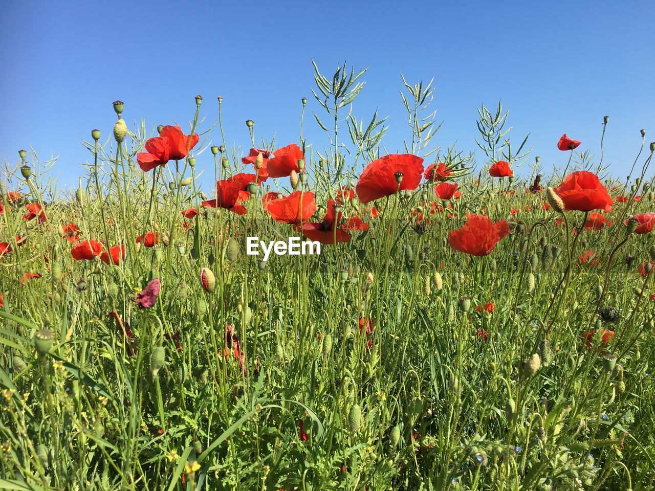 plant, flower, flowering plant, growth, red, sky, field, poppy, beauty in nature, land, freshness, nature, vulnerability, fragility, petal, no people, day, flower head, inflorescence, green color, outdoors