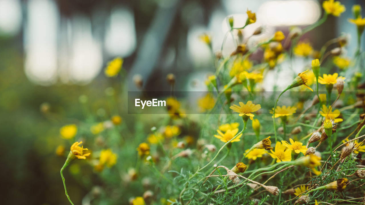 flower, yellow, nature, growth, field, plant, beauty in nature, no people, tranquility, fragility, outdoors, spring, blooming, freshness, day, close-up, flower head