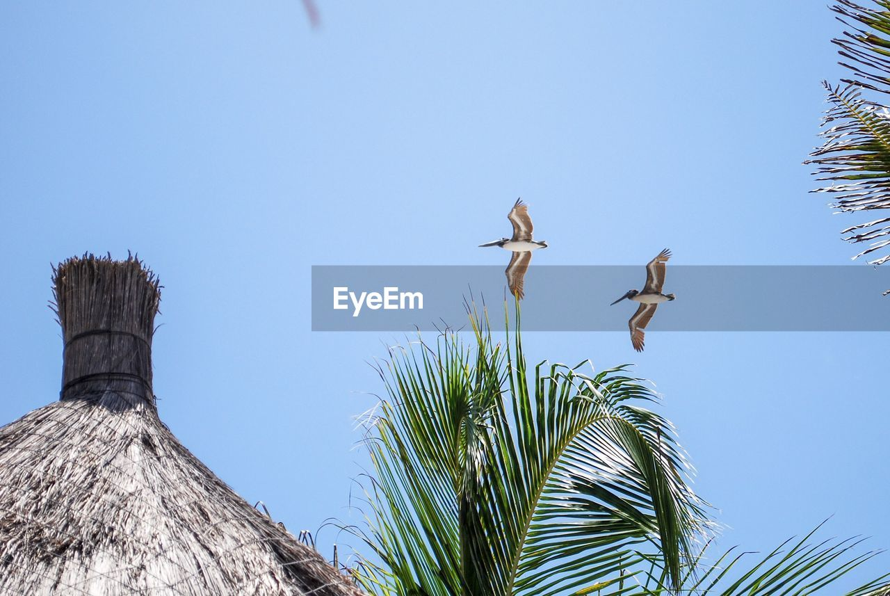 sky, plant, low angle view, tree, clear sky, nature, day, no people, vertebrate, bird, growth, animals in the wild, animal wildlife, palm tree, tropical climate, animal themes, blue, animal, flying, group of animals, outdoors, palm leaf