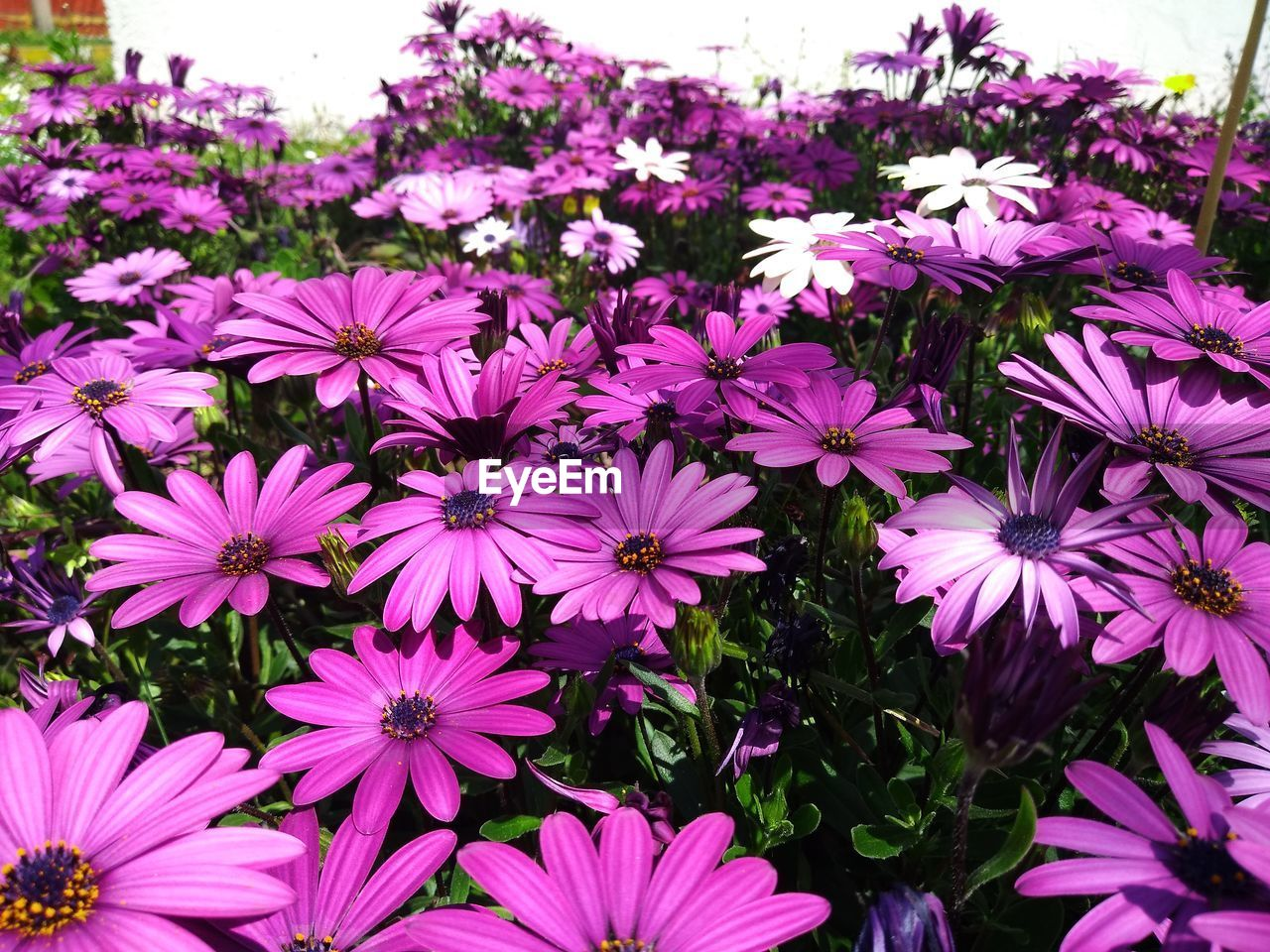 flowering plant, flower, plant, growth, vulnerability, freshness, fragility, petal, beauty in nature, inflorescence, flower head, close-up, pink color, nature, osteospermum, no people, day, purple, botany, pollen, outdoors, flowerbed