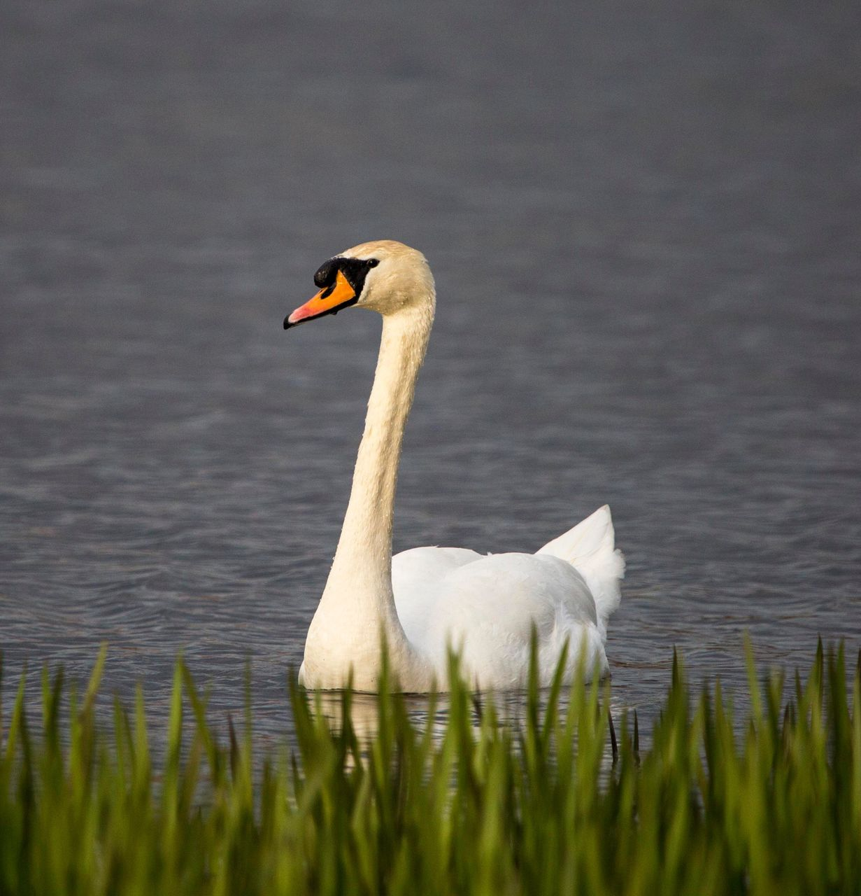 animal themes, bird, animal, vertebrate, animals in the wild, water, swan, animal wildlife, lake, water bird, nature, day, swimming, group of animals, no people, two animals, grass, plant, zoology, outdoors, animal family, animal neck, cygnet