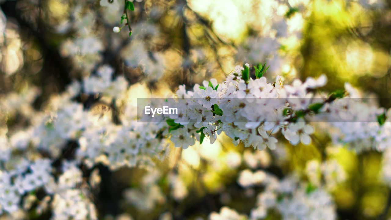 flower, flowering plant, plant, fragility, freshness, beauty in nature, vulnerability, growth, day, blossom, tree, nature, white color, branch, selective focus, close-up, springtime, no people, botany, outdoors, flower head, cherry blossom, bunch of flowers, cherry tree, spring