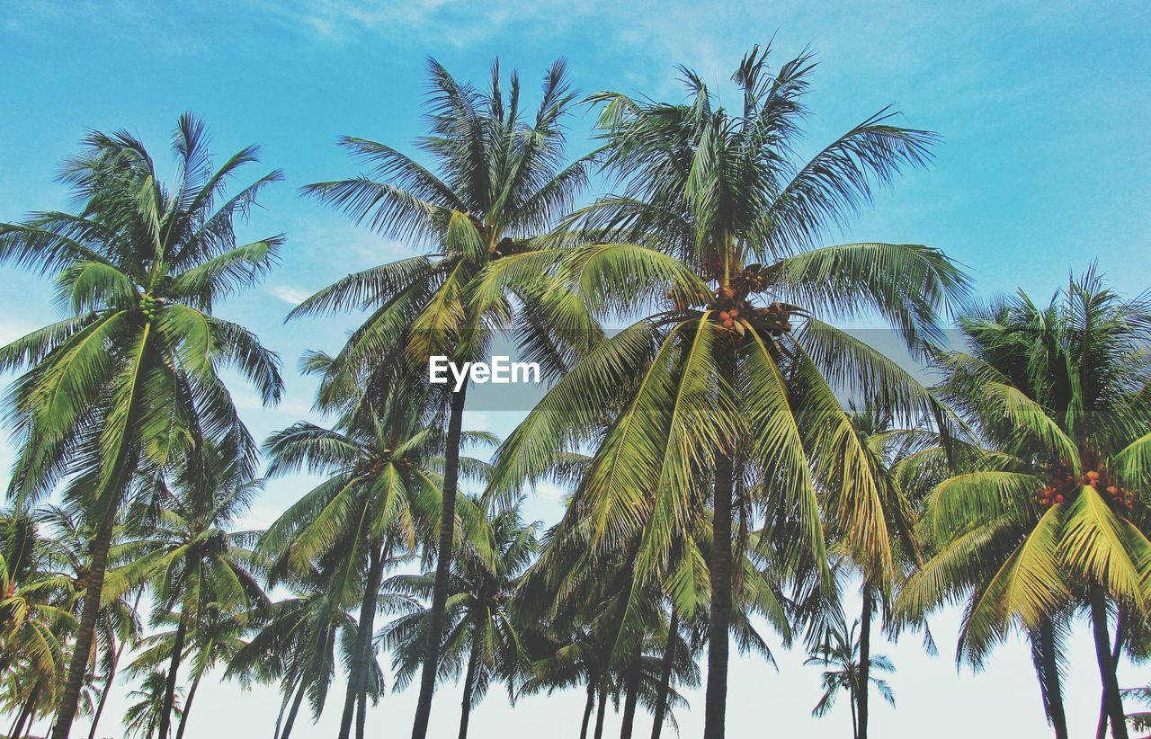 palm tree, tree, nature, growth, low angle view, sky, no people, beauty in nature, outdoors, day