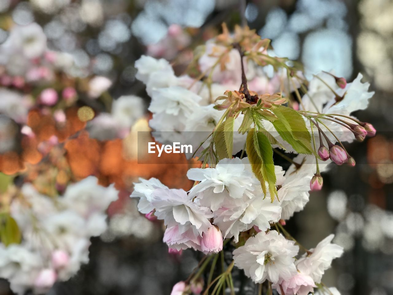 flowering plant, flower, fragility, vulnerability, plant, freshness, beauty in nature, petal, growth, close-up, focus on foreground, flower head, day, nature, invertebrate, insect, no people, one animal, inflorescence, animals in the wild, springtime, outdoors, pollination, cherry blossom