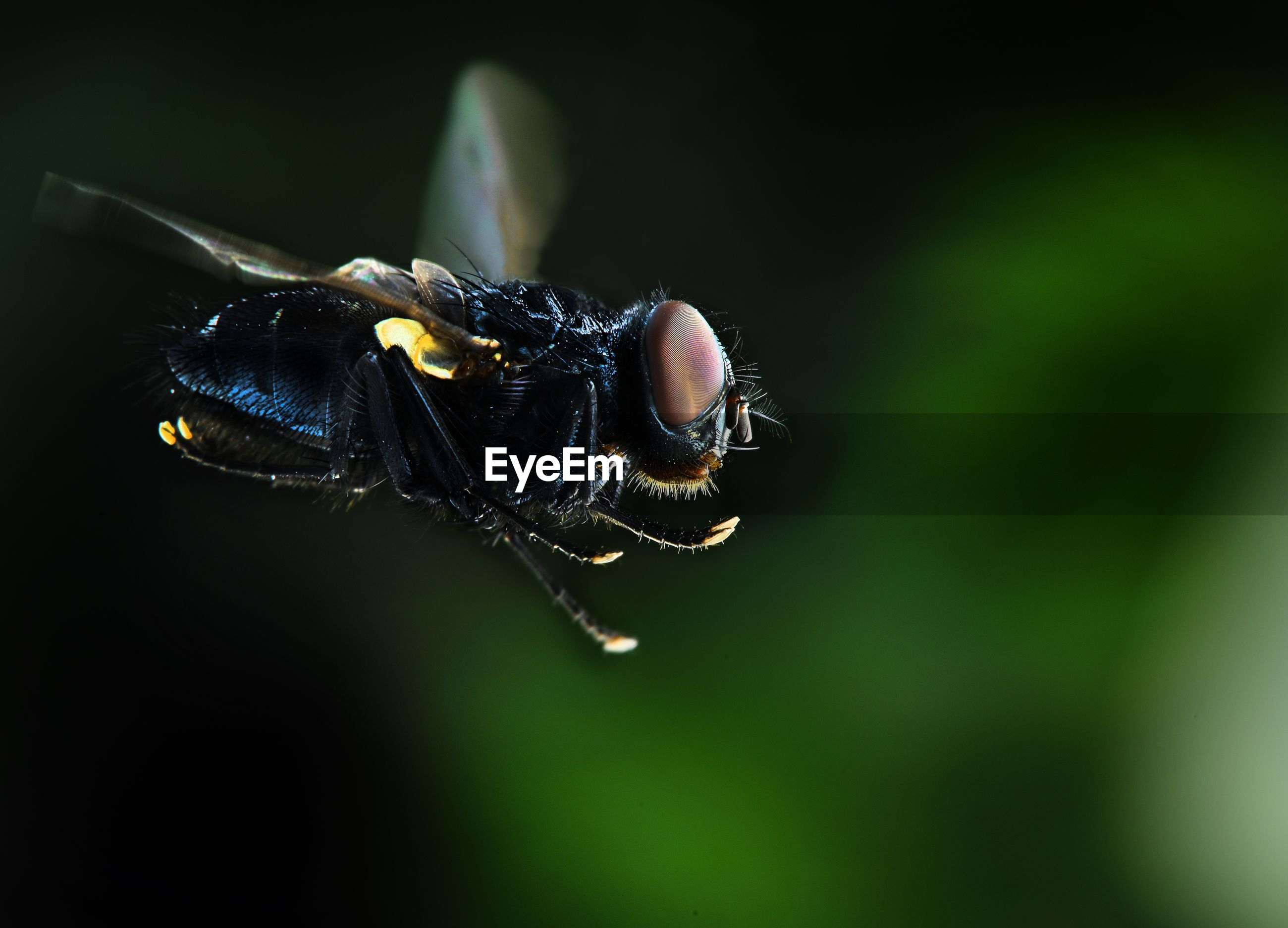Close-up of flying fly