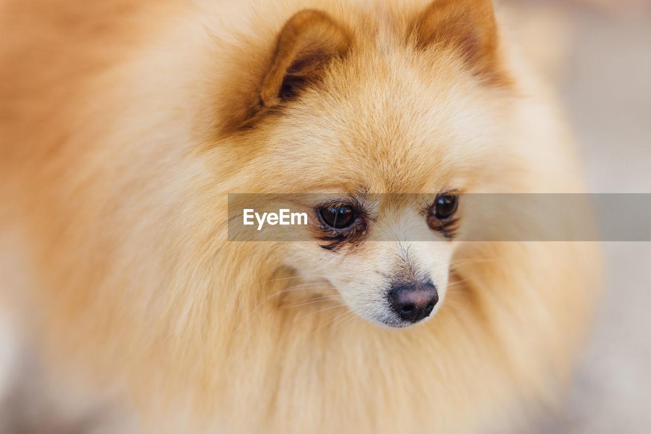 Close-Up Of Brown Pomeranian