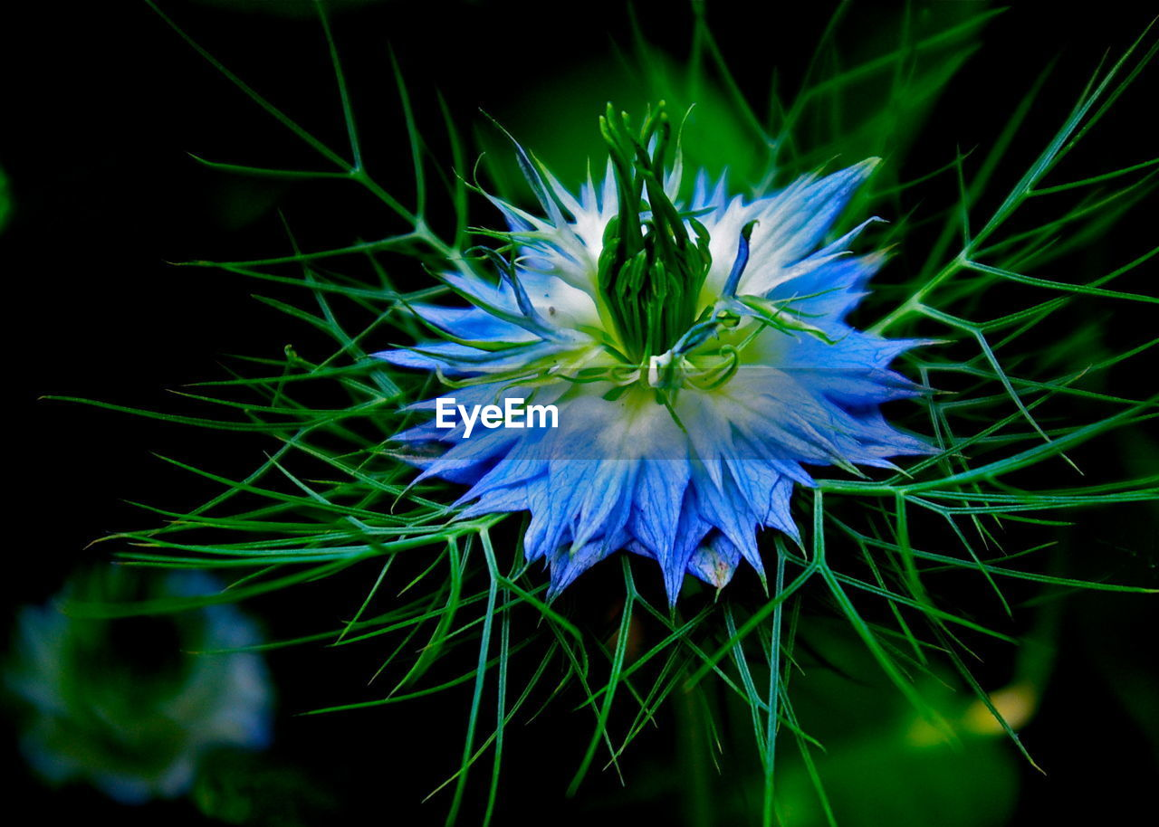 flower, fragility, beauty in nature, growth, petal, nature, flower head, blue, freshness, plant, close-up, no people, outdoors, day, blooming, black background, passion flower