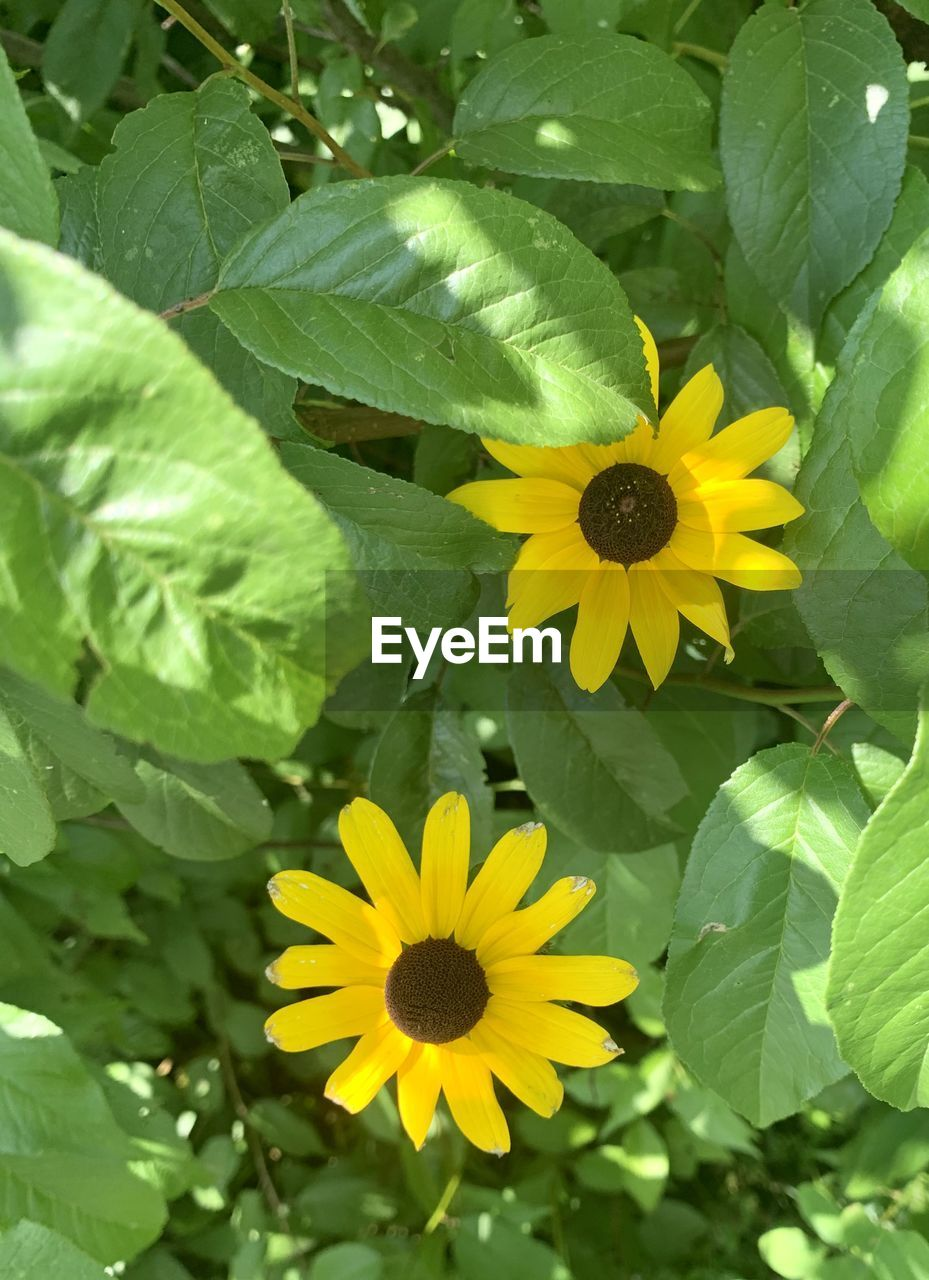 CLOSE-UP OF YELLOW FLOWERING PLANT LEAVES ON GREEN FLOWER