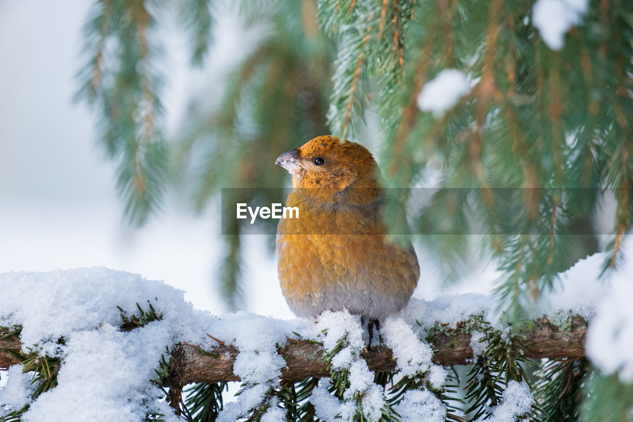 snow, winter, cold temperature, tree, plant, animal themes, one animal, animals in the wild, animal, animal wildlife, bird, vertebrate, nature, beauty in nature, no people, perching, day, focus on foreground, covering, outdoors