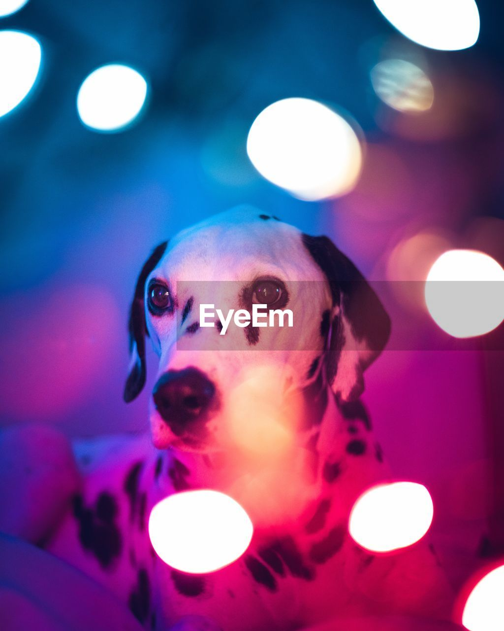 illuminated, lens flare, animal themes, animal, mammal, vertebrate, dog, glowing, canine, lighting equipment, pets, one animal, domestic, domestic animals, indoors, portrait, looking at camera, close-up, no people, focus on foreground, light, purple, ceiling