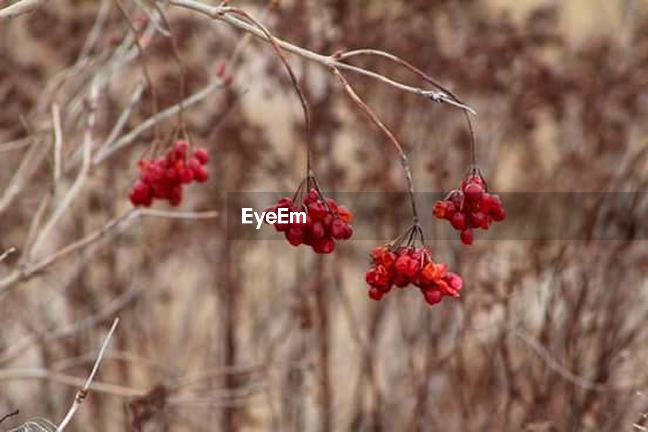 red, fruit, tree, food and drink, growth, focus on foreground, branch, nature, day, outdoors, no people, plant, rose hip, freshness, close-up, food, beauty in nature