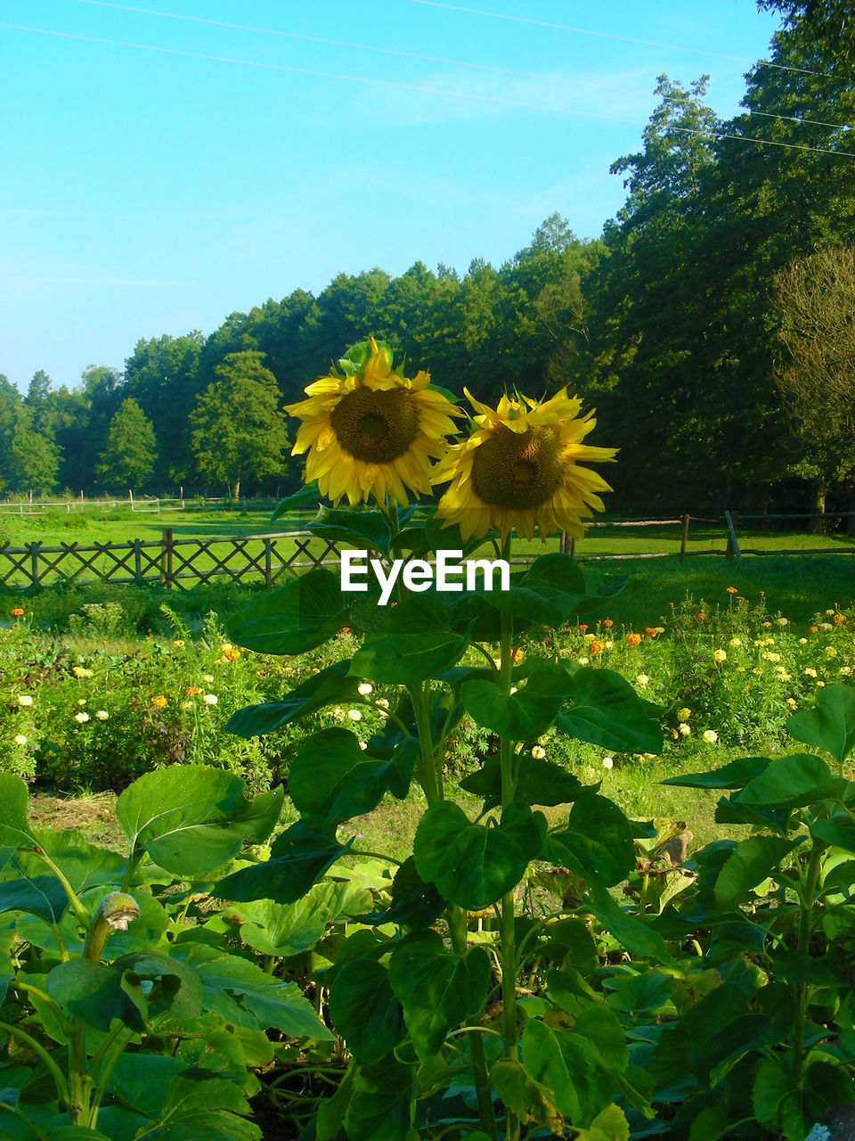 flower, growth, freshness, nature, fragility, beauty in nature, petal, yellow, plant, flower head, blooming, day, no people, outdoors, field, green color, sunflower, leaf, sky, tree, close-up, black-eyed susan