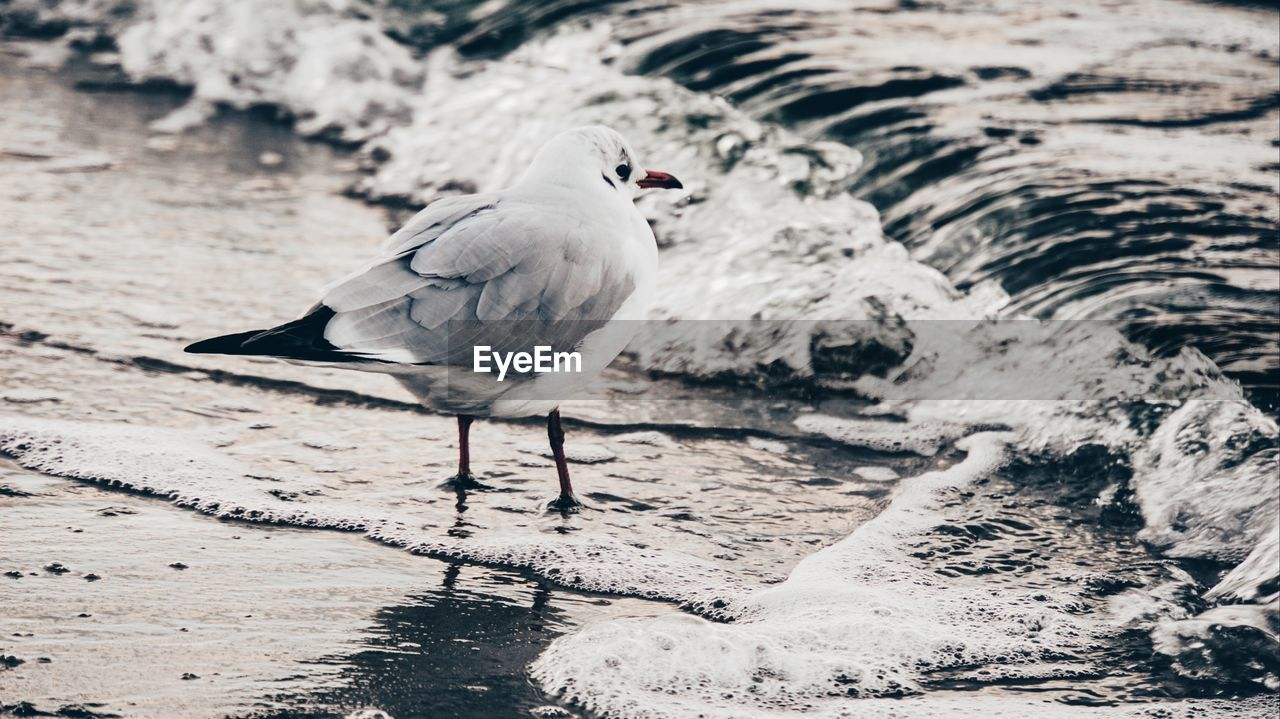 bird, animal, animal themes, vertebrate, animal wildlife, one animal, animals in the wild, perching, day, water, no people, nature, focus on foreground, full length, land, beach, white color, outdoors, high angle view, seagull