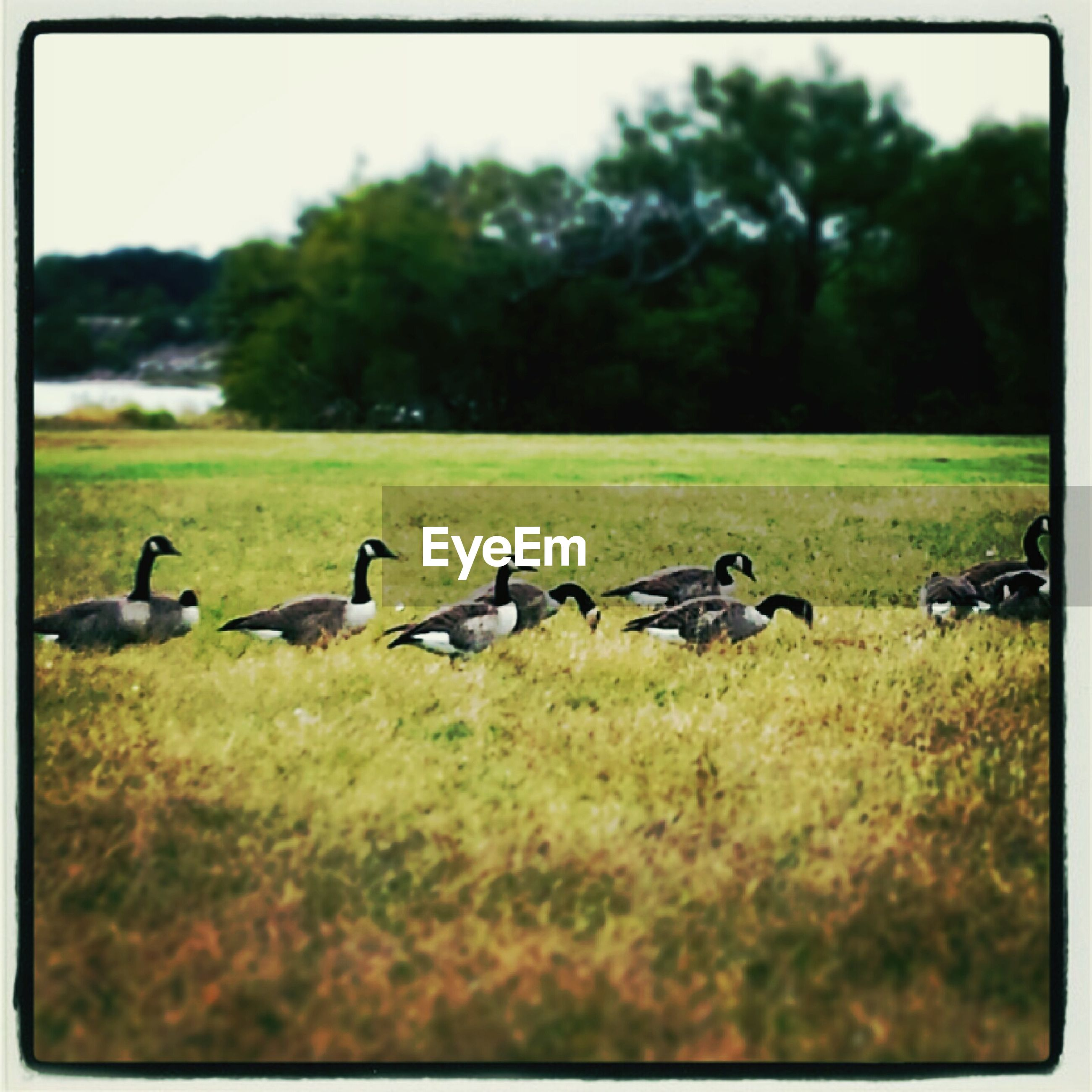 bird, animal themes, grass, animals in the wild, wildlife, field, grassy, tree, green color, nature, transfer print, focus on foreground, selective focus, medium group of animals, duck, landscape, outdoors, flock of birds, day