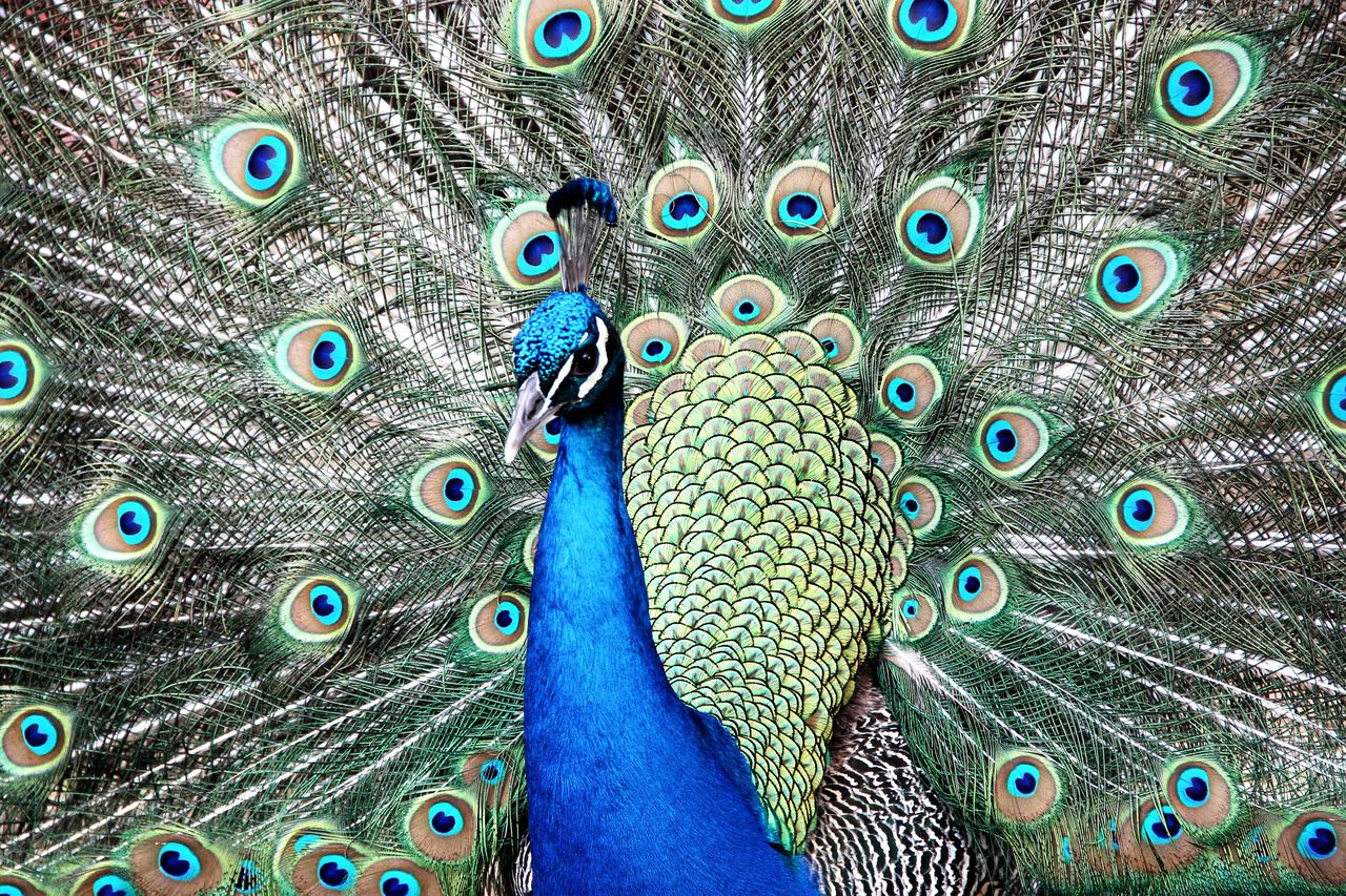 peacock, animal, animal themes, bird, vertebrate, peacock feather, one animal, feather, animal wildlife, fanned out, close-up, animals in the wild, blue, no people, full frame, animal body part, multi colored, beauty in nature, animal head, day, outdoors, animal neck