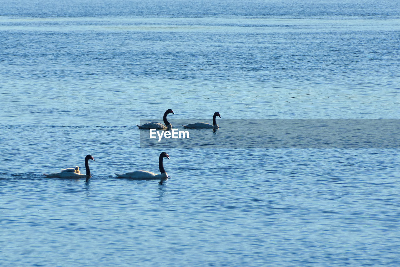 water, animals in the wild, animal themes, bird, animal wildlife, vertebrate, animal, waterfront, group of animals, beauty in nature, swimming, day, nature, no people, lake, water bird, outdoors, scenics - nature, blue
