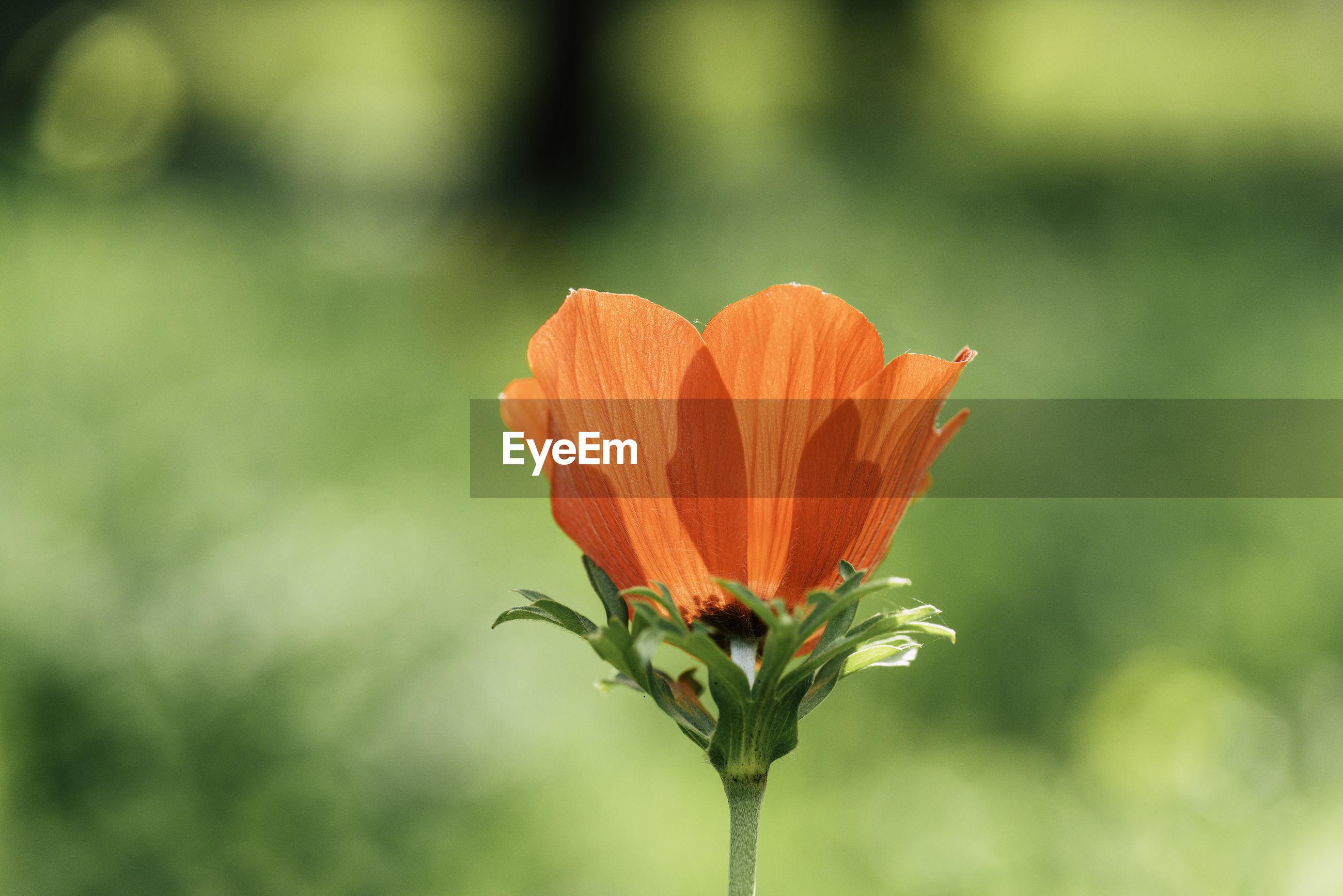 Close-up of poppy