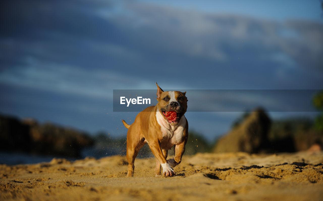 Dog on sand at beach against sky