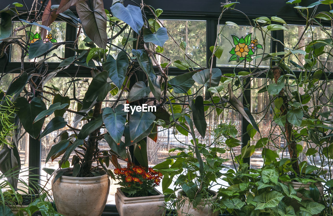 POTTED PLANTS HANGING FROM GREENHOUSE