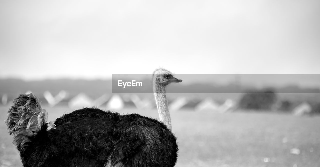 Close-up of ostrich against sky