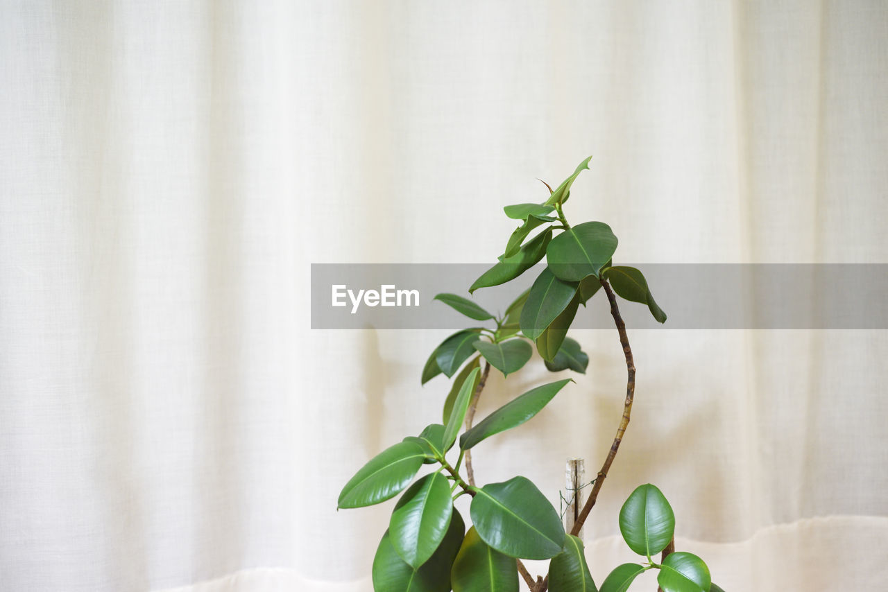 leaf, plant part, plant, green color, growth, nature, indoors, no people, close-up, curtain, home interior, wall - building feature, beauty in nature, white color, day, freshness, focus on foreground, leaves, wood - material, houseplant, bamboo - plant