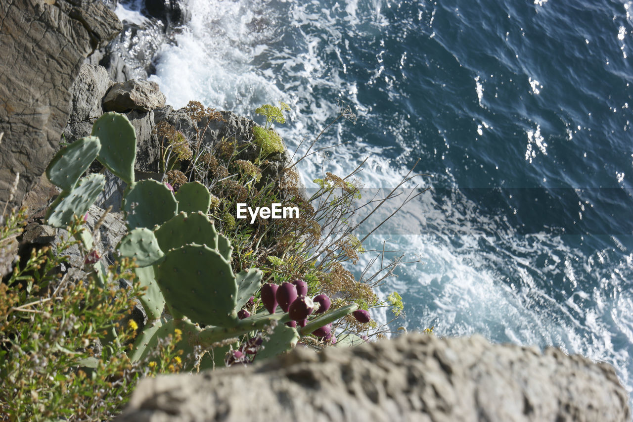 High Angle View Of Prickly Pear Cactus On Rock By Sea