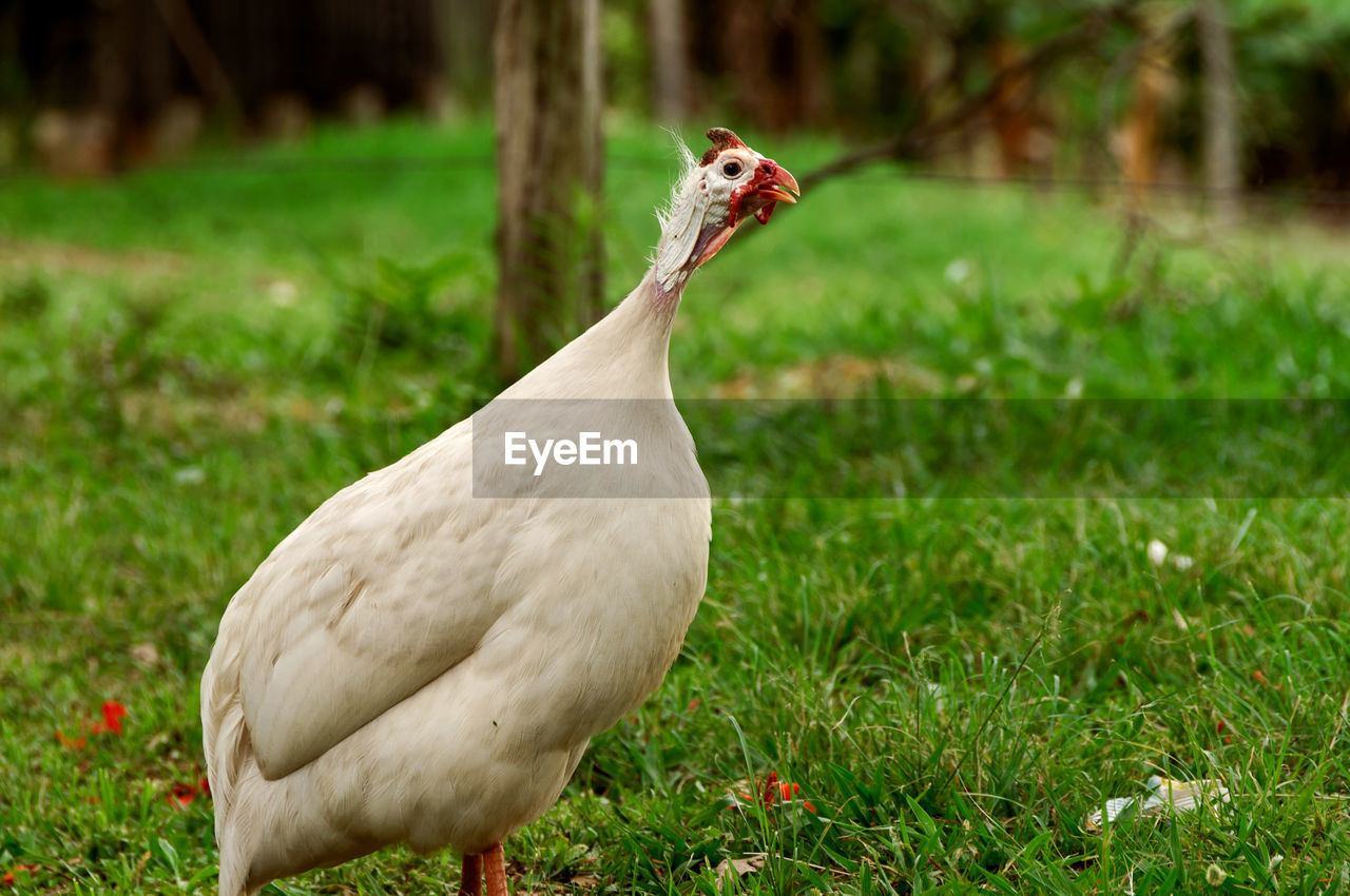 animal, animal themes, vertebrate, bird, one animal, grass, plant, animal wildlife, animals in the wild, land, field, nature, green color, day, focus on foreground, no people, white color, growth, outdoors, beauty in nature