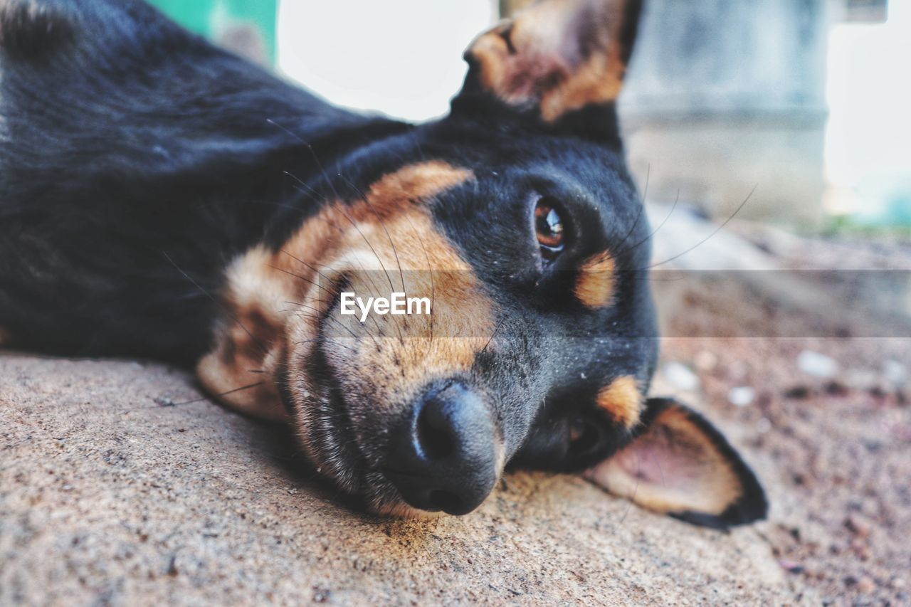 one animal, pets, mammal, domestic, animal themes, animal, domestic animals, canine, dog, vertebrate, lying down, relaxation, close-up, selective focus, resting, no people, black color, portrait, looking at camera, animal body part, animal head, snout