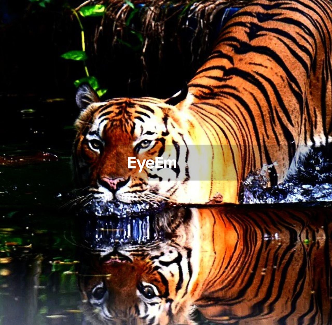 tiger, one animal, animals in the wild, animal themes, animal wildlife, day, no people, nature, outdoors, mammal, water, close-up