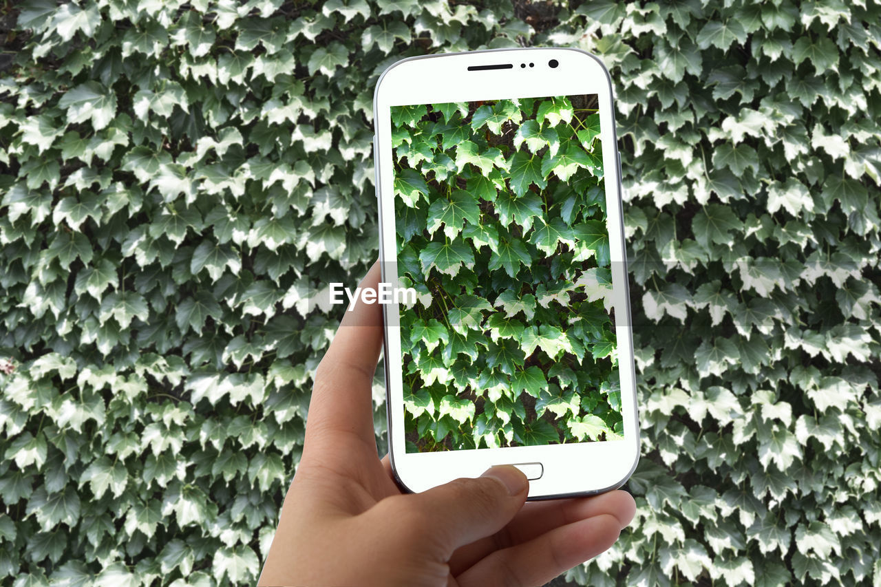 Cropped Hand Photographing Ivy