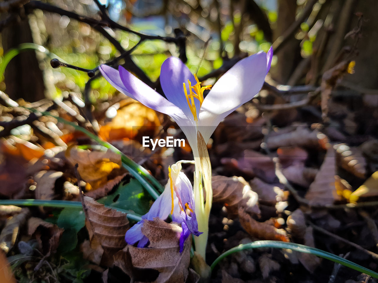 flowering plant, flower, vulnerability, fragility, plant, beauty in nature, petal, freshness, growth, close-up, iris, purple, flower head, inflorescence, nature, focus on foreground, day, no people, field, crocus, iris - plant, outdoors
