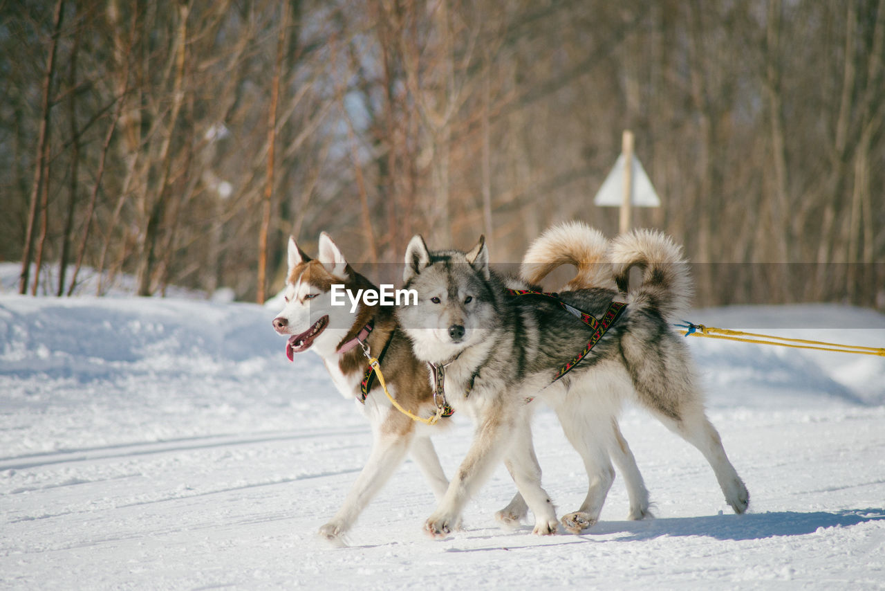 Dogs Walking On Snow Covered Landscape Against Trees