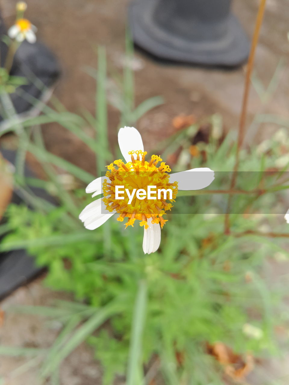 flower, petal, nature, fragility, outdoors, white color, freshness, growth, day, beauty in nature, yellow, flower head, close-up, plant, blooming, no people