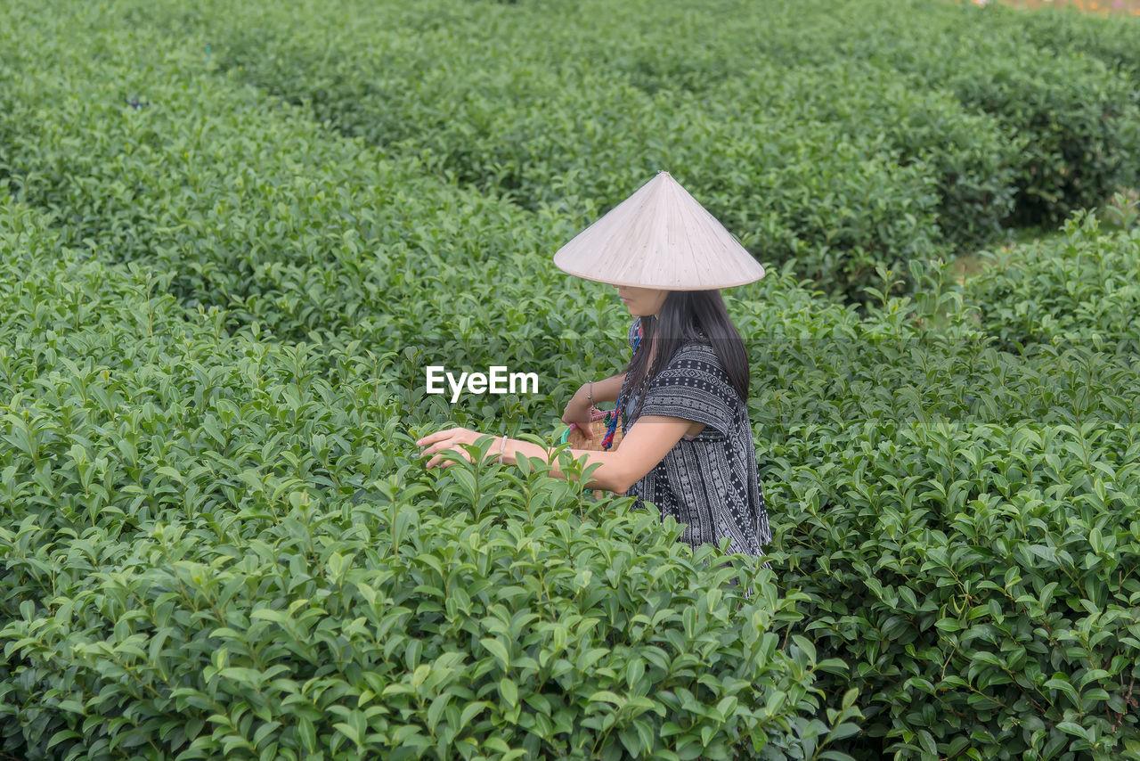 Asian woman picking tea