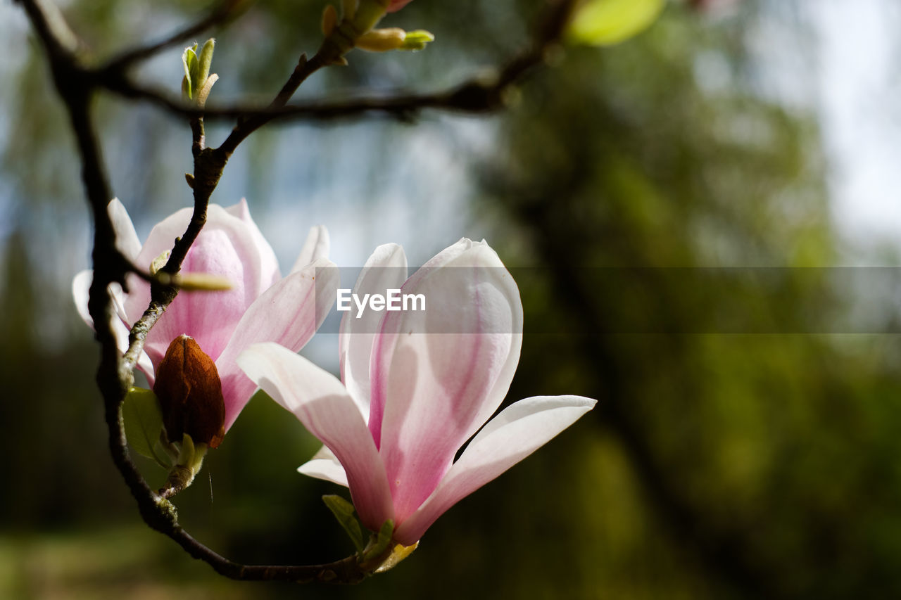 plant, flowering plant, flower, beauty in nature, petal, fragility, vulnerability, growth, freshness, close-up, focus on foreground, pink color, flower head, inflorescence, nature, no people, day, outdoors, tree, magnolia