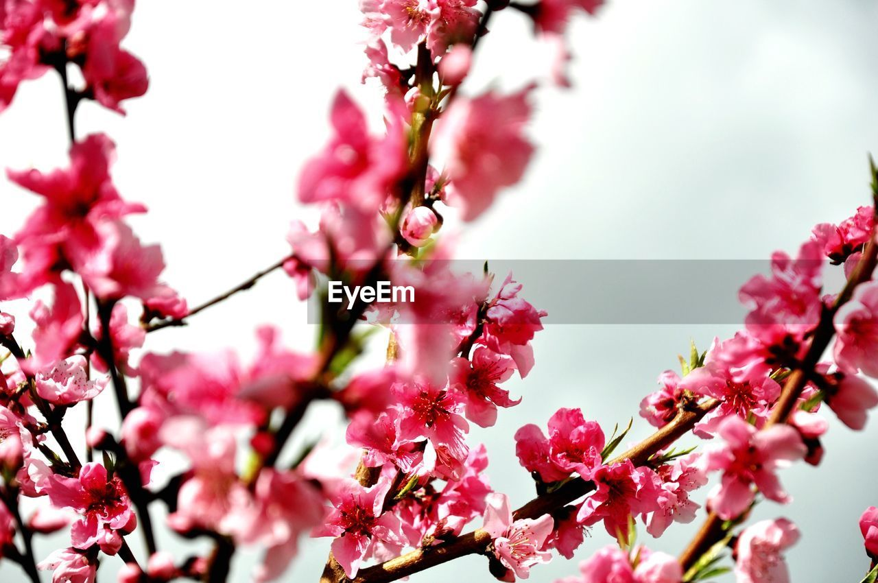 flower, flowering plant, plant, fragility, beauty in nature, vulnerability, pink color, growth, freshness, blossom, branch, tree, springtime, close-up, nature, no people, low angle view, selective focus, petal, day, cherry blossom, cherry tree, outdoors, flower head, spring, plum blossom, bunch of flowers