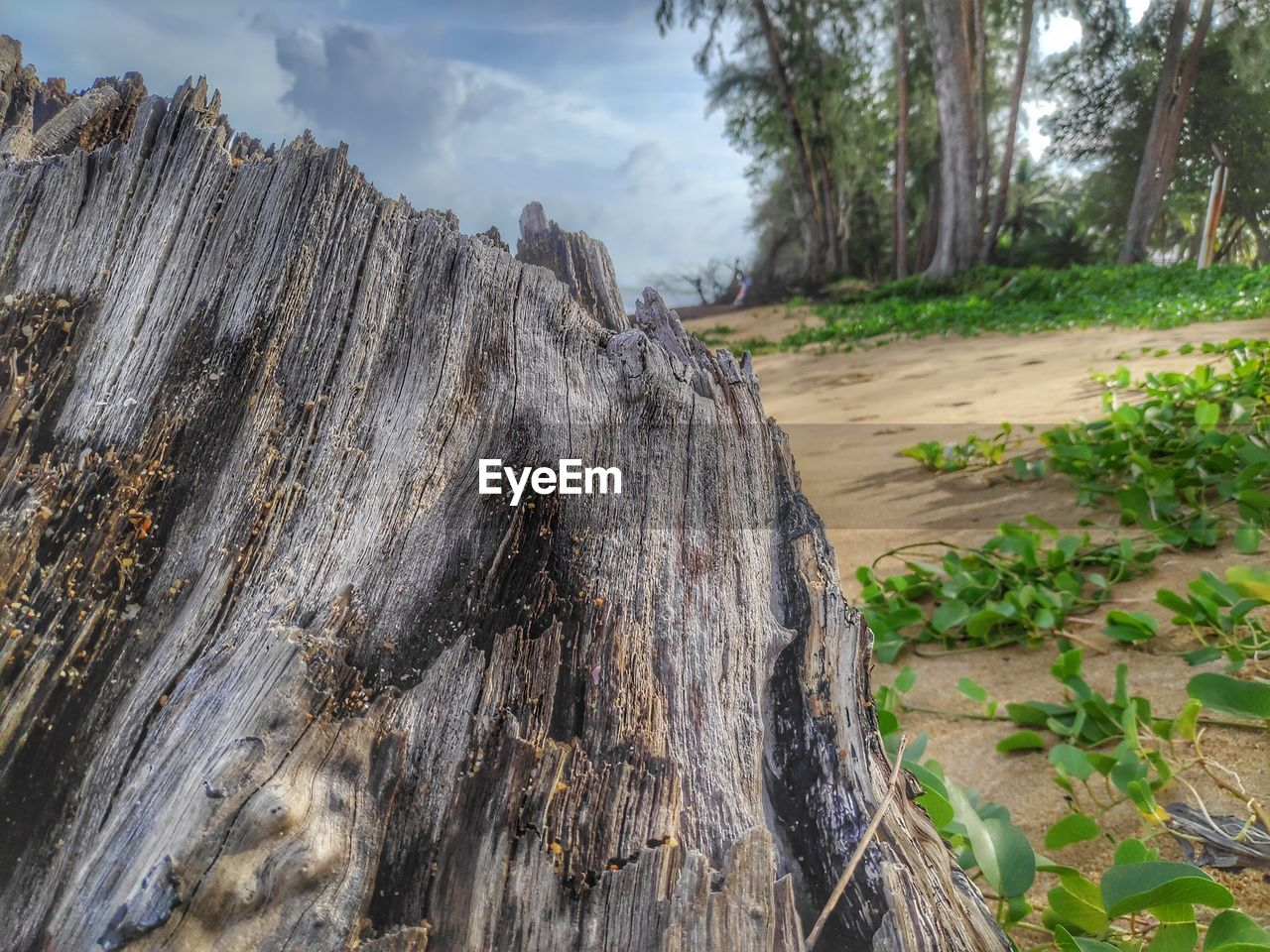tree, plant, wood - material, nature, tree trunk, trunk, no people, day, textured, bark, growth, land, close-up, focus on foreground, outdoors, beauty in nature, tree stump, tranquility, sky, rough, wood