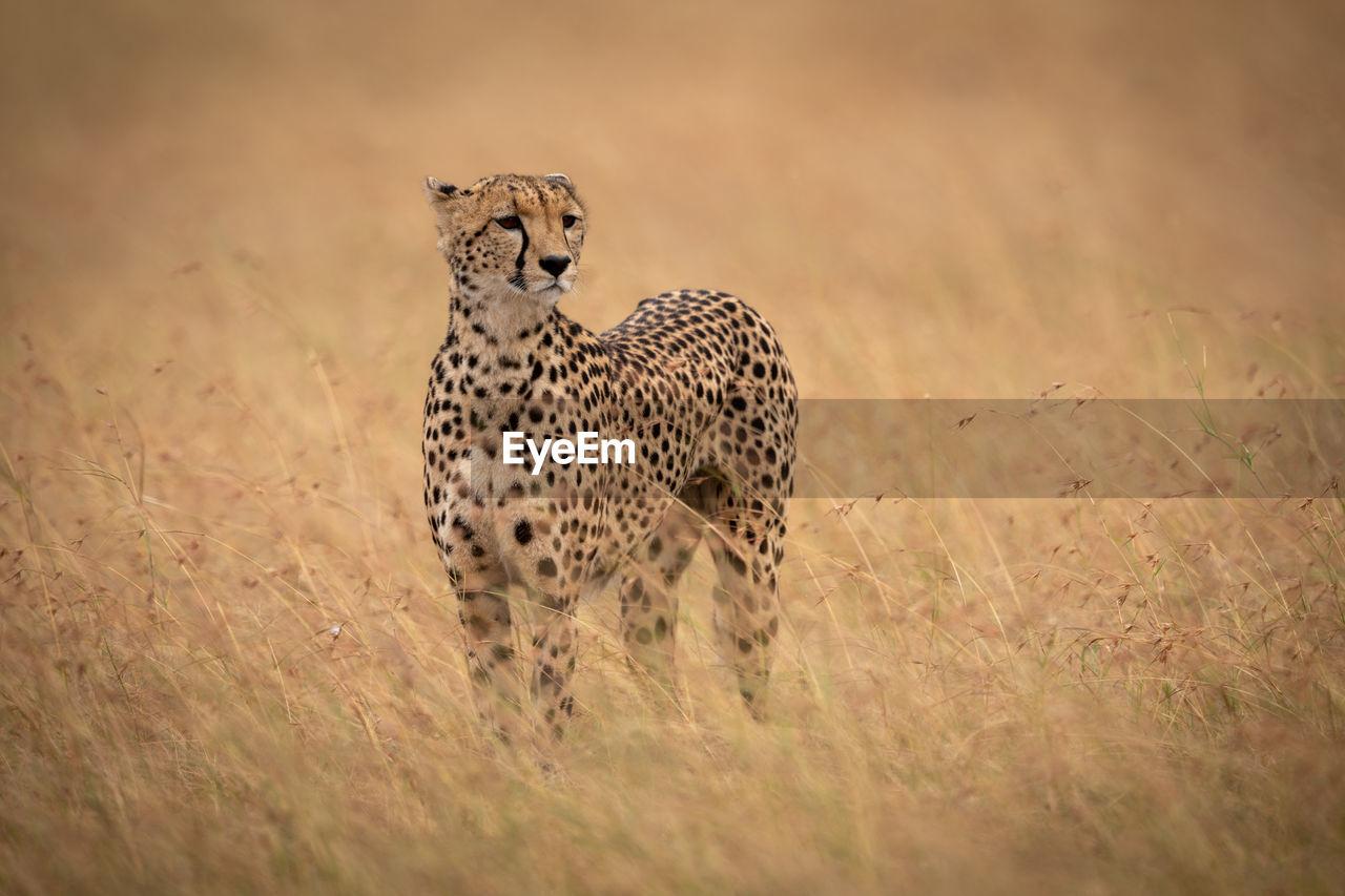 animals in the wild, animal, animal themes, animal wildlife, mammal, one animal, feline, big cat, field, cat, no people, land, cheetah, vertebrate, safari, looking, nature, grass, plant
