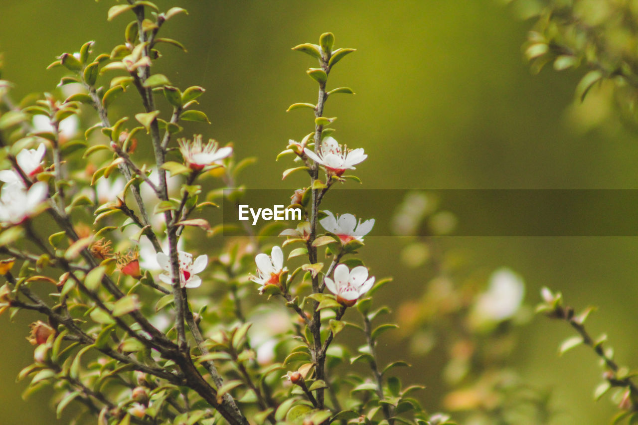 plant, flower, flowering plant, growth, beauty in nature, vulnerability, fragility, freshness, nature, petal, close-up, day, focus on foreground, no people, plant part, white color, leaf, outdoors, flower head, selective focus