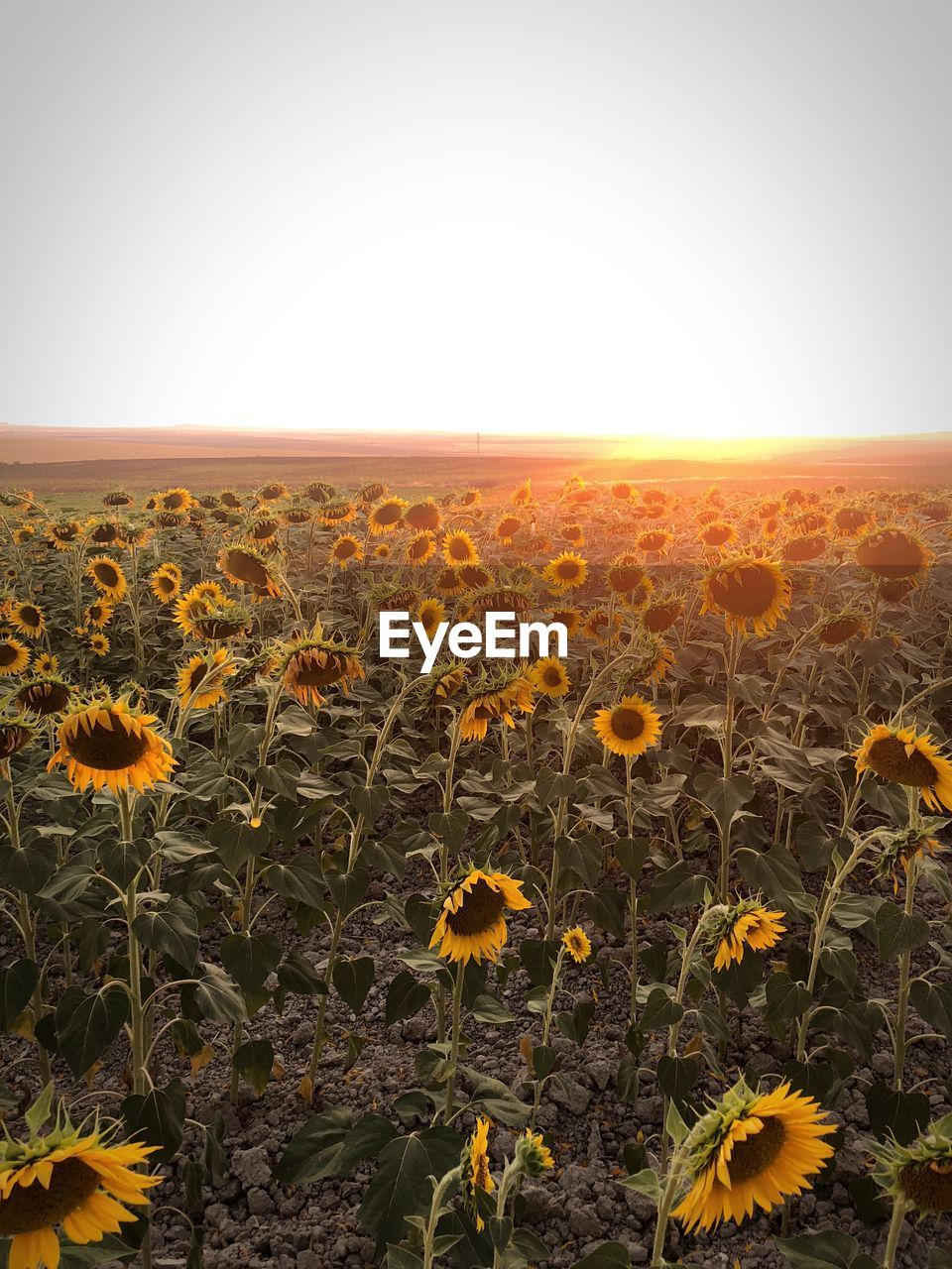 SCENIC VIEW OF SUNFLOWER FIELD AGAINST SKY DURING DUSK